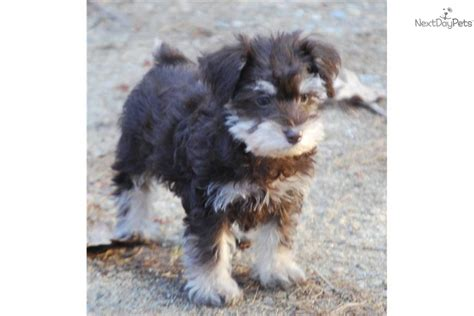 schnoodle puppies mn schnoodle puppies for sale car interior design