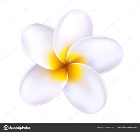 plumeria vector vector 3d plumeria frangipani tropical flower stock