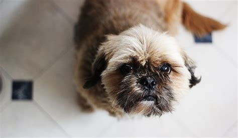names for shih tzu 250 fantastic shih tzu names my s name