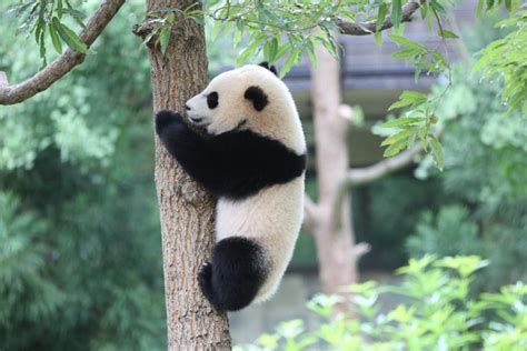 The Year Of The Panda panda bao bao moving to china next year