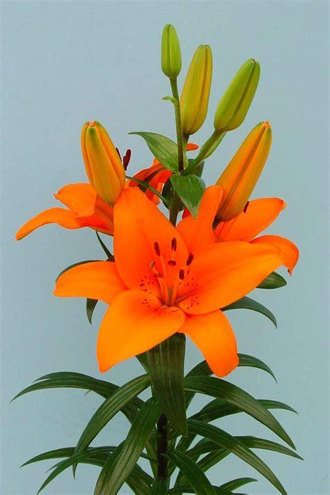 lilies varieties