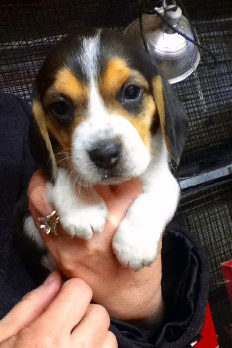 beagle puppies virginia teacup beagles for sale in virginia breeds picture