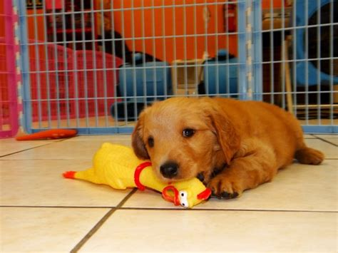 golden retriever breeders ky golden retriever puppies for sale near ky photo
