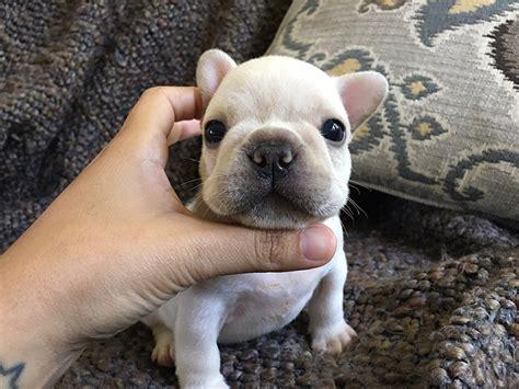 bulldog puppies louisiana available puppies vixbull bulldogs louisiana