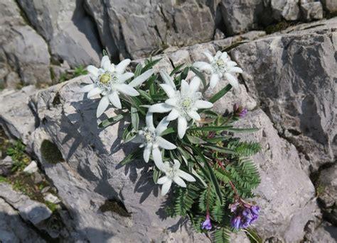 edelweiss fiore alpino lago di garda escursioni