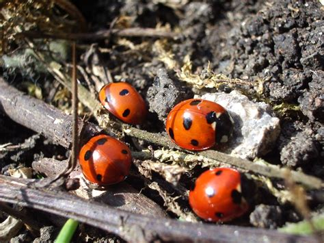 ladybugs in house ladybugs in your house that s not necessarily a bad thing gardens alive blog