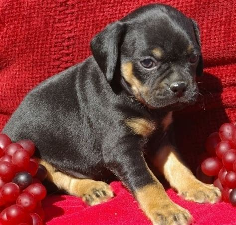 pug rottweiler mix 17 best images about pug mixes on chugs chihuahuas and miniature