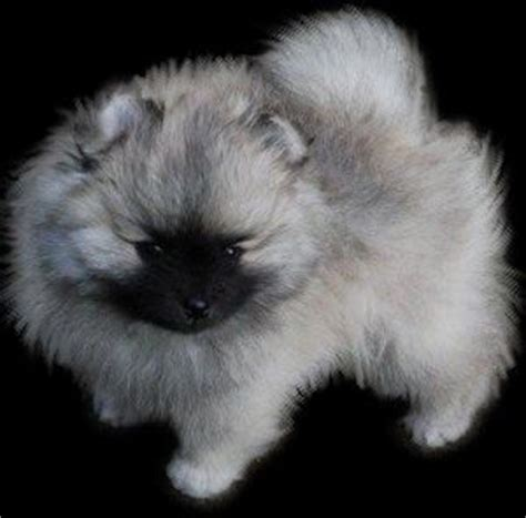 silver pomeranian puppies wolf silver black pomeranian the cutest puppies puppies puppies