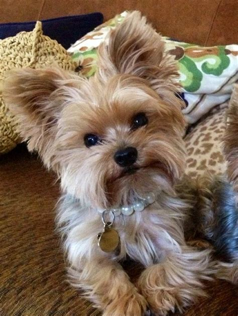picture of yorkie top 35 yorkie haircuts pictures terrier haircuts