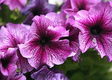 Home Painting Design Tips by How To Grow Petunias That Will Bloom All Summer