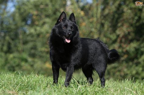 schipperke dogs schipperke hereditary health and longevity pets4homes