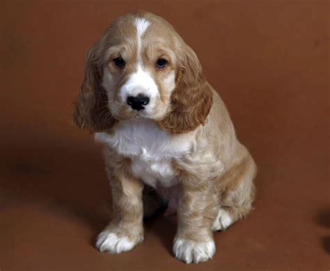 perros de raza cocker imagenes todo sobre el cocker spaniel perro shop