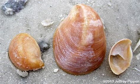 what are slipper shells marine snails