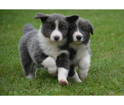 collie puppies for sale best 25 blue border collie ideas on blue merle border collie blue merle