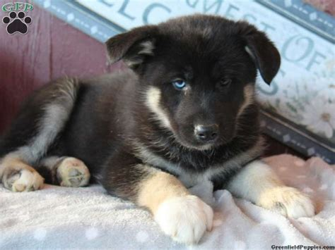 husky mix puppies for sale german shepherd elkhound puppy mix for sale breeds picture