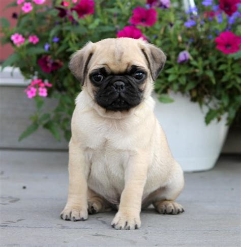 pug puppies for sale northern california adorable sweet pug puppies puppy4me