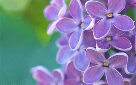 imagenes de rosas lilas flores de lilas violetas fotos de flores primaverales