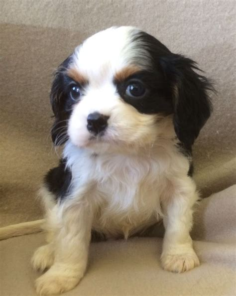 king charles spaniel puppies for sale cavaliier king charles spaniel puppies for sale west pets4homes