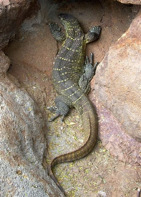 nile monitor facts  pictures