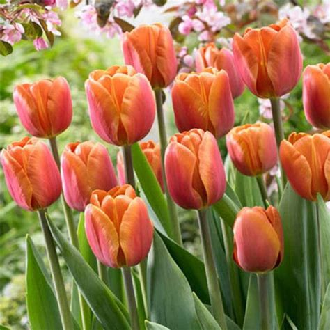 Tulip Brown by 19 Best Images About Bulb Lasagne On Other