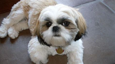 grown teacup shih tzu when is a shih tzu considered fully grown reference