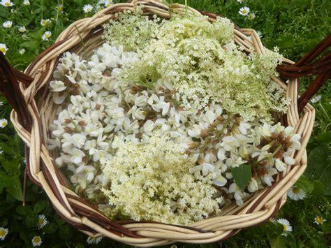 fiori di acacia in pastella fiori d acacia e fiori di sambuco in pastella a nosto modo