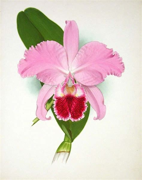 cattleya tattoo 26 best cattleya trianae images on