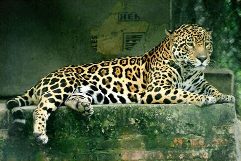 Jaguars Cat Pictures Photos And Images Big Cats