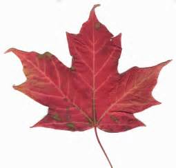 file canadian maple leaf 2 jpg wikipedia