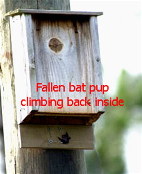 how to get bats in a bat house how to make a bat house pup catcher