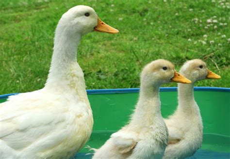 The Best Duck Breeds to Keep in your Garden   Pets4Homes