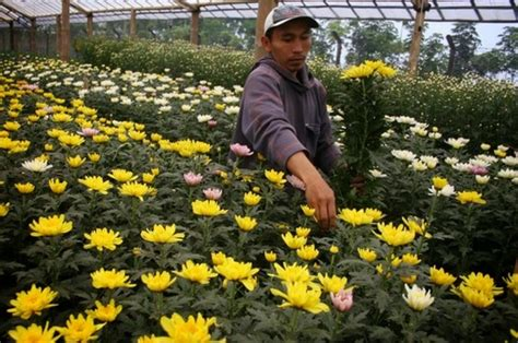 Pupuk Yang Baik Untuk Bunga Krisan cara merawat bunga krisan bibitbunga