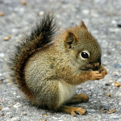 squirrel images baby squirrels www imgkid the image