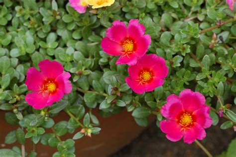 Types Of Garden Roses - file unidentified portulaca flowering in a garden 5 jpg wikimedia commons