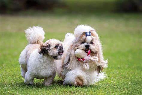 shih tzu things 10 things you need to about the shih tzu breed