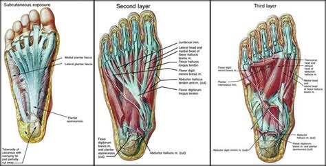 Addressing Arch Pain: Is Your Abductor Hallucis the Source ... Foot Arch Muscles