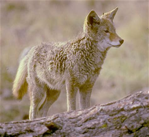 facts about coyotes for kids coyote facts for kids california naturemapping