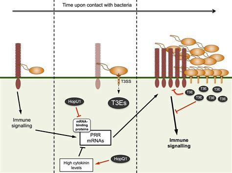 activation of plant pattern recognition receptors by bacteria curr opin microbiology targeting of plant patt