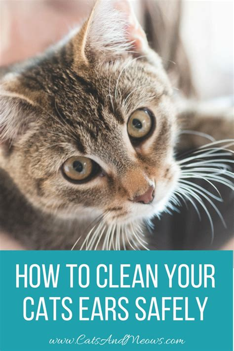 how to clean your s ears how to clean your cats ears safely cats and meows
