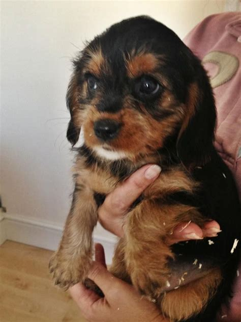 king charles yorkie mix cavalier king charles spaniel yorkie mix breeds picture