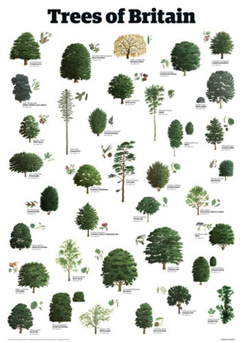 different types of trees pictures to pin on pinterest trees of britain guardian wallchart prints easyart com