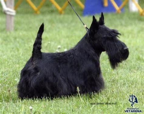 Do Scottish Terriers Shed by Scottish Terrier Nicknamed The Diehard The Scottie Has