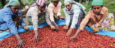 Ceylon Coffee   Fresh Cup Magazine