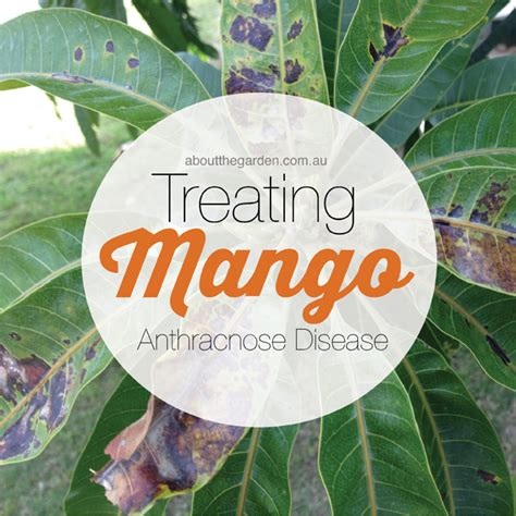 Mango Anthracnose Disease: Black Spots on Leaves   About