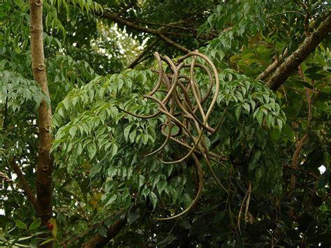 china doll tree radermachera sinica quot china doll tree quot 3 photos
