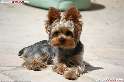 yorkie terrier images yorkie wallpaper breeds picture