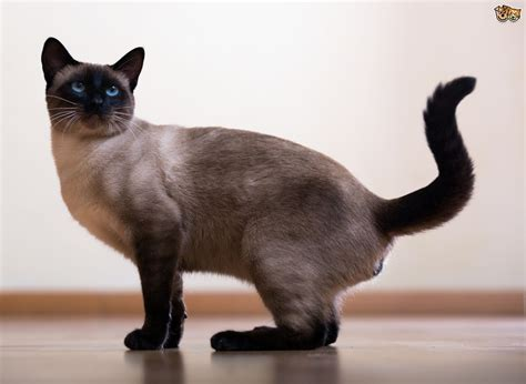 can cats see color or black and white can siamese cats be black pets4homes