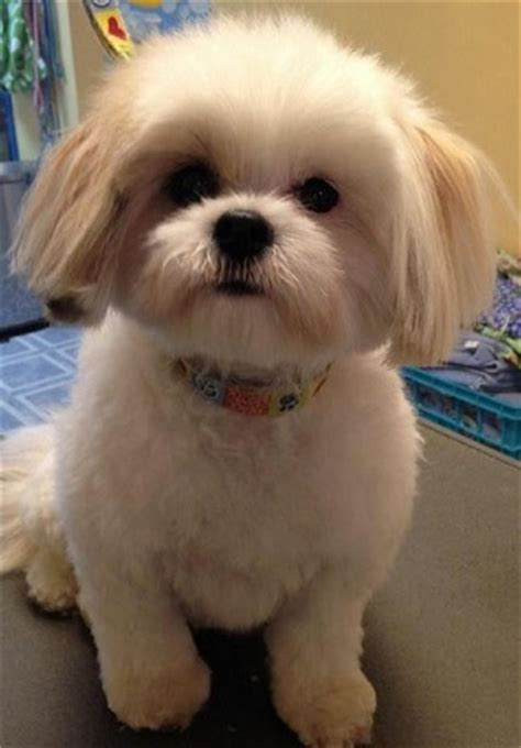 teddy cut on shih tzu shih tzu haircuts petcarepricing