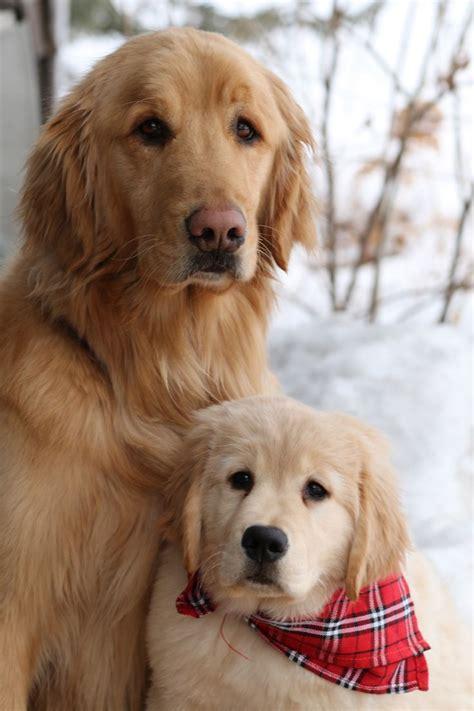 images  dog business  pinterest golden
