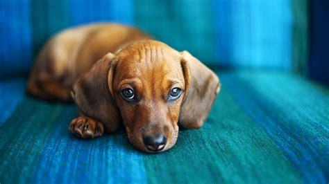 pouting puppy trick teach your to quot pout quot